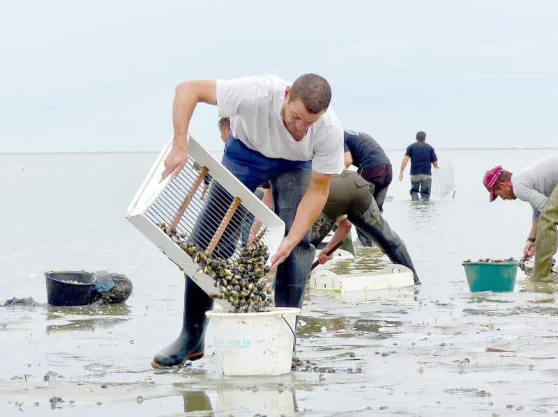 pêcheur professionnel de coques